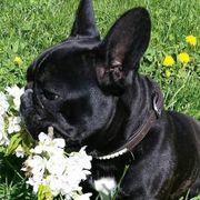 Suche Bulldogge Englische Französische Mops