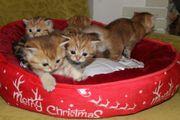 BKH Golden Silber Kitten