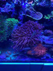 Meerwasser Goniopora Korallen LPS-Nachzucht