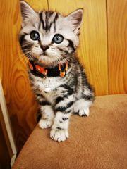 BKH Kitten Tabby Whiskas