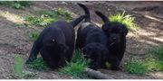 Labradorwelpe Quedlin 1 schwarzer Rüde