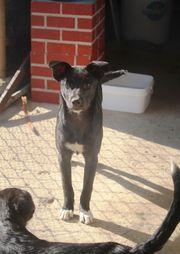 Tierschutzhund - Gino -