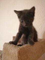 Kitten Mädchen Silberblaulich