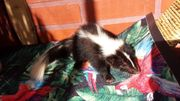 Zahme Skunks suchen ein Zuhause