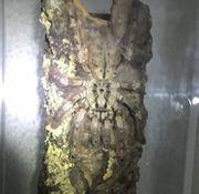 Stromatopelma calceatum 5 FH