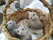 Bkh kitten suchen ein nettes