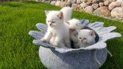Zauberhafte Britisch Kurzhaar Katzenbabys mit