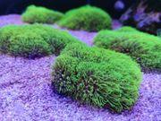 Erythropodium caribaeorum Affenhaar Meerwasser Gorgonie