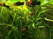 Fische Platys