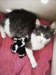 Maine Coon Kitten reinrassig suchen