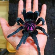X immanis Xenesthis sp blue