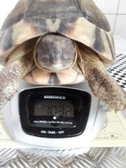 Landschildkröte - Breitbandschildkröte