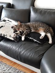 Katze Maine Coon Mix 2