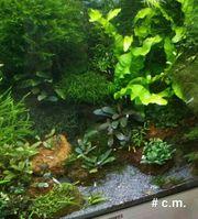 Pilo - Moos Aquarium Pflanzen
