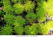 Bienenbaum Euodia hupehensis