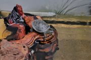 Amerikanische Zierschildkröten Chrysemis picta bellii