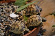 Maurische Landschildkröte Testudo graeca aus