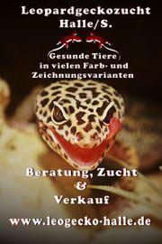 Süße Leopardgecko Mädels bereit zur