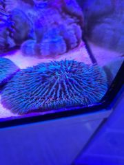 korallen fungia