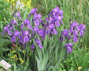 Sibirische Schwertlilie Bart-Iris halbhoch