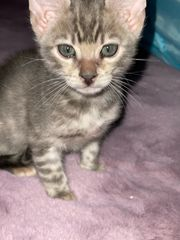 Bengal Baby Kater Silber
