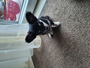 Reinrassige Chihuahua Welpe ABGABE BEREITET