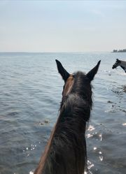 Suche Reitbeteiligung - Reiter sucht Pferd