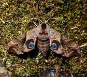 Schmetterlinge Falter Raupen vom Abendpfauenauge