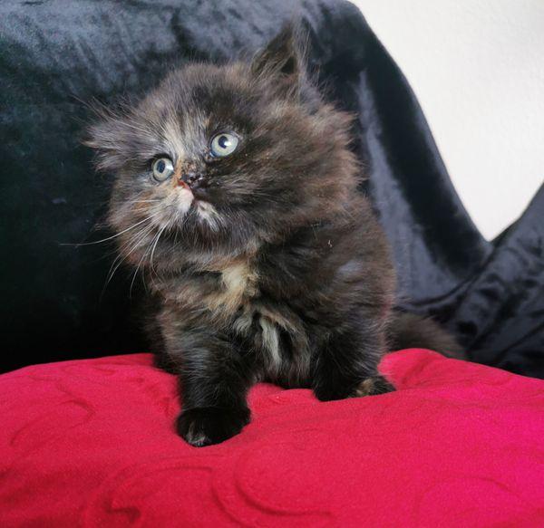 Scottish Fold Mischling BKH Kitten