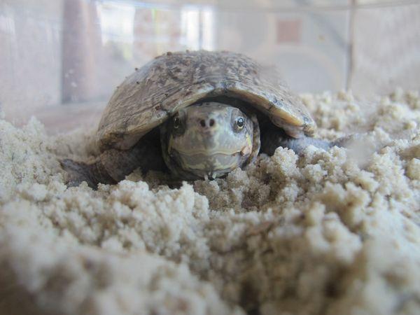 Moschusschildkröten, Zuchtgruppe,
