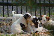 Parson Russell terrier welpen mit