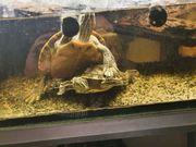 verkaufe zwei junge Wasserschildkröten