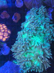 Diverse LPS Sps Zoas korallen