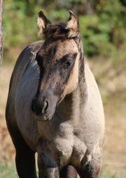 BUZZ - Quarter Horse Absetzer in