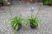 Agapanthus Schmucklilie blau