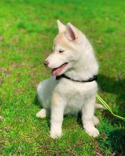entzückender Siberian Husky Welpe