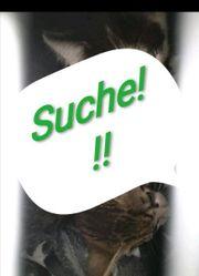 Suche Katzenbabys - Raum Bruchsal