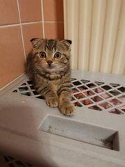 BHK Scottich Fold kitten