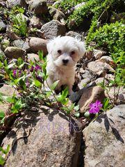 Mini Malteser Welpen für Allergiker