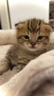 kitten babykatze Bengal mix