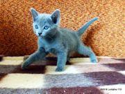 Zuckersüße reinrassige Russisch Blau Kitten
