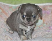 Welpe Chihuahua in Blue tan
