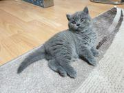 BKH Kitten Männlich in Lilac