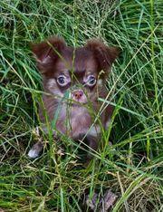 Typvolle Mini Chihuahua Welpen