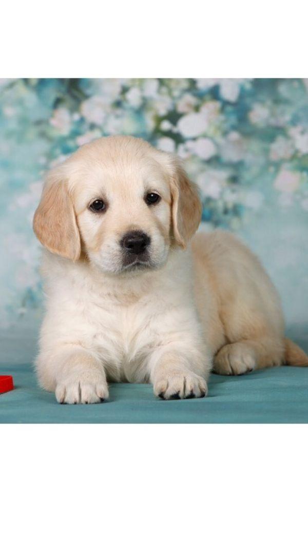 golden retriever welpen in mücheln  hunde kaufen und