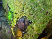 Pelusios Castaneus 8cm Top Tier
