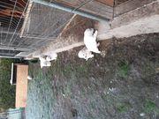 Herdenschutzhund Pyrinäischer Berghund