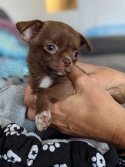 Wunderschöne Chihuahua KH Welpen Rüden