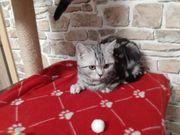 Bkh Kitten mit Stammbaum 2mal