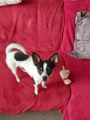 Verkäufer Chihuahua